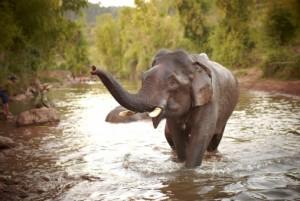 elefanti in laos 2